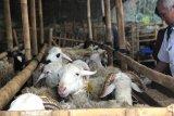 Petugas mulai diterjunkan untuk pantau kesehatan hewan kurban di Yogyakarta
