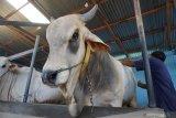Pedagang sapi di Palu siap penuhi kebutuhan pasar Idul Adha