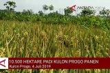 VIDEO: Lahan padi 10.500 hektare di Kulon Progo panen