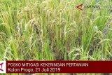 VIDEO: Rasatusan hektare tanaman padi di Kulon Progo kekeringan