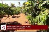 VIDEO: Warga Gunung Kidul kembangkan kebun buah