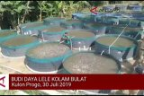 VIDEO: DKP Kulon Progo dorong penerapan Bule Kolbu