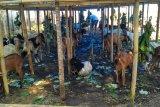 Pemkot Baubau sudah menyiapkan puluhan ekor hewan kurban