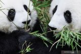 Pakar China siapkan otopsi panda di Kebun Binatang Thailand