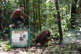 Delapan orangutan kembali dilepasliarkan ke TNBBBR Katingan