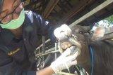 Dinas Pertanian Kapuas sudah periksa kesehatan puluhan hewan kurban
