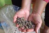 Kopi asli Lampung Maringgai punya potensi dikembangkan