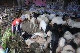 Kebutuhan hewan kurban tiap tahun diperkiakan capai 2,5 juta ekor