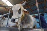 Puluhan ribu semen beku inseminasi sapi didatangkan di Sulteng