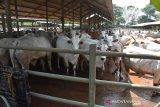 Pemkot Palangka Raya salurkan 100 sapi kurban ke masjid