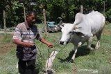 Sapi Kurban Jokowi seharga Rp45 juta