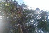 Harga cengkih di Sulawesi Utara  bertahan