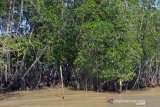 Dinas: Tumpahan minyak mentah belum berdampak ke hutan mangrove