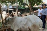 Antam bantu dua ekor hewan kurban warga Konawe Utara