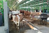 Harga sapi kurban di Kulon Progo melonjak