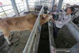 Dokter hewan memeriksa kondisi kesehatan sapi dan kerbau sebelum disembelih di Lambaro, Aceh Besar, Aceh, Rabu (7/8/2019). Fakultas Kedokteran Hewan Universitas Syiah Kuala (Unsyiah) bersama MPU LPPOM dan UKM HIMPHarsia mengerahkan 400 lebih mahasiswa dan relawan untuk monitoring, pengawasan dan pemeriksaan kesehatan hewan menjelang hari raya kurban (Idul Adha). (Antara Aceh / Irwansyah Putra)