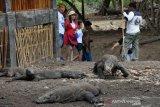 NTT tak inginkan nasib Komodo seperti di Pulau Padar