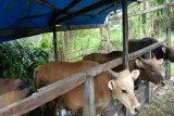Keerom siapkan 300 ekor sapi untuk kebutuhan kurban