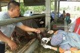 Hewan kurban terkena gejala jembatan ditemukan di Mukomuko
