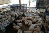 Jelang Idul Adha, harga ayam potong di Mamuju naik