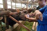 68 petugas diturunkan lakukan pemeriksaan hewan kurban setelah disembelih
