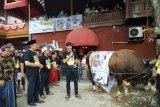 Wali Band kurban sapi limosin seberat satu ton