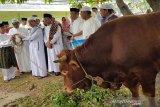 Presiden Jokowi kurban sapi