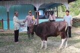 Kapolres Waropen salurkan hewan kurban di Kampung Toire Inggerus