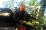 Pohon sawit roboh, rumah warga Tiku Utara rusak parah