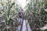 Tanaman jagung petani Sariak Pasaman Barat terjangkiti virus bulai