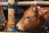 RPH Giwangan menyiapkan tenaga penyembelih hewan kurban hingga Rabu