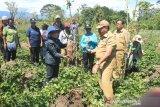 Bupati Jayawijaya motivasi petani Distrik Musatfak lebih giat bekerja