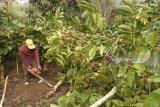 Harga jual turun, petani tebangi tanaman kopi