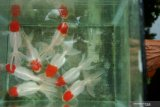 Yogyakarta fokus menghasilkan ikan hias berkualitas