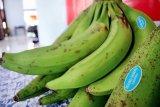 Pisang agung unggulan Kabupaten Lumajang diekspor ke Malaysia