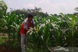 Manfaatkan kemarau, petani Desa Datar Banyumas tanam jagung