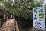 Diserang hama ulat bulu ratusan mangrove terancam mati