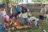 DSLNG sumbang 11 ekor sapi kurban untuk masyarakat