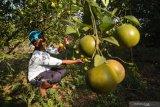 Petani memeriksa buah jeruk siap panen di Desa Penaguan, Pamekasan, Jawa Timur, Kamis (15/8/2019). Menjelang berakhirnya musim panen tahun ini harga jeruk di kawasan itu naik dari sebelumnya Rp8.000-Rp10.000 per kg menjadi Rp10.000-Rp12.000 per kg karena tingginya permintaan. Antara Jatim/Saiful Bahri/zk