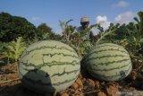 Pacu ekspor hortikultura, Pemerintah akan bentuk kawasan klaster