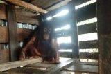 Warga Sampit serahkan orangutan setelah dirawat 7 tahun