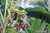 Viral, pohon pisang dengan empat jantung tumbuh subur