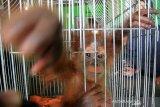 Seekor bayi Orangutan Sumatera (Pongo abelii) berada di dalam kandang setelah proses penyerahan di Desa Teladan Jaya, Kecamatan Babahrot, Aceh Barat Daya, Aceh, Senin (19/8/2019). Bayi Orangutan Sumatera jantan yang berusia sekitar lima bulan tersebut diserahkan pemiliknya secara sukarela kepada BKSDA Aceh dan Yayasan Ekosistem Lestari (YEL) untuk dilepasliarkan ke habitatnya. Antara Aceh/Syifa Yulinnas.