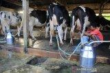 Peternak memerah susu sapi di desa Cisantana, Cigugur, Kuningan, Jawa Barat, Jumat (23/8/2019). Kementerian Pertanian menyatakan produksi susu sapi nasional meningkat dari 1,4 juta ton menjadi 1,6 juta ton. ANTARA JABAR/Dedhez Anggara/agr