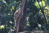 Sejumlah kera Ekor Panjang (Macaca fascicularis) menunggu makanan dari pengguna jalan di desa Cibeureum, Cilimus, Kuningan, Jawa Barat, Sabtu (24/8/2019). Populasi kera ekor panjang di sekitar desa tersebut meningkat hingga ribuan ekor sehingga keberadaanya dianggap petani sebagai hama yang kerap merusak tanaman kopi, cengkeh dan palawija. ANTARA JABAR/Dedhez Anggara/agr