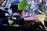Hutan Angkola Tapanuli masih kaya tumbuhan endemik