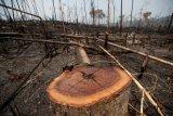 Gubernur tegaskan akan potong tangan pelaku penebang pohon ilegal