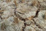 Ratusan hektare sawah di Mesuji kekeringan