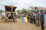 Puluhan peserta meriahkan Festival Gerobak Sapi Merdeka