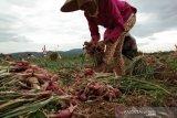 Pemkab : penurunan harga bawang petani pengaruh panen di daerah lain